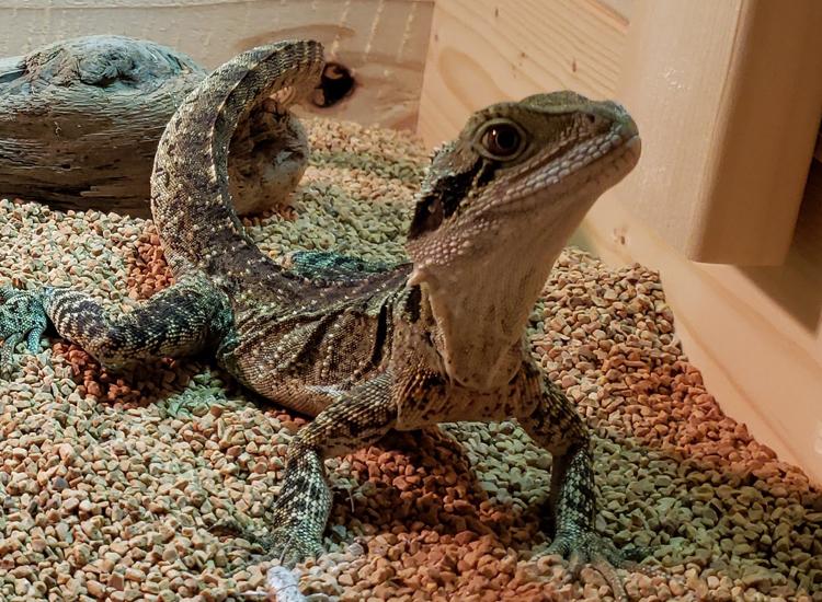 ヒガシウォータードラゴンの飼育環境を紹介します。