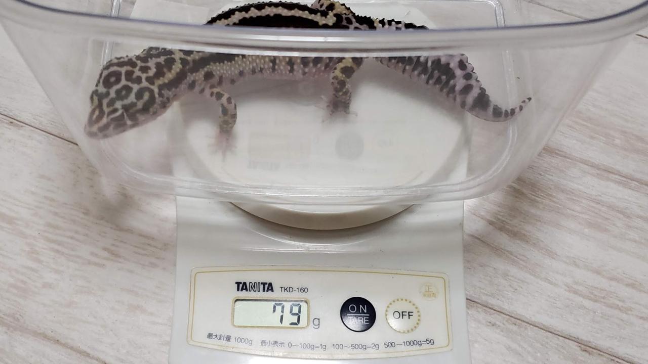 レオパードゲッコー(ヒョウモントカゲモドキ)の体重の変化